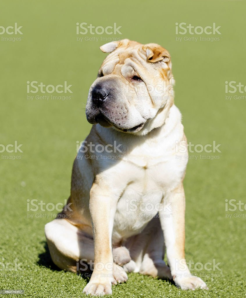 shar pei dog on a green lawn royalty-free stock photo