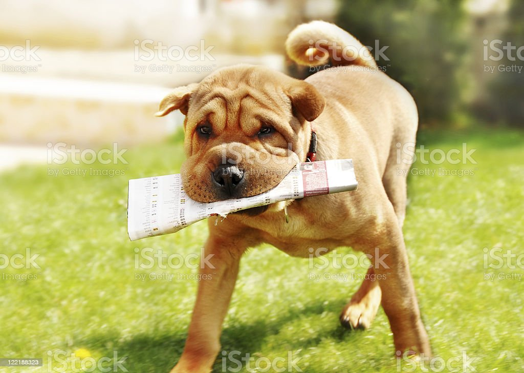 Shar Pei dog with newspapers stock photo