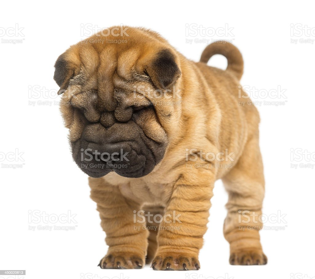 Shar Pei puppy, 2 months old, standing and looking down stock photo