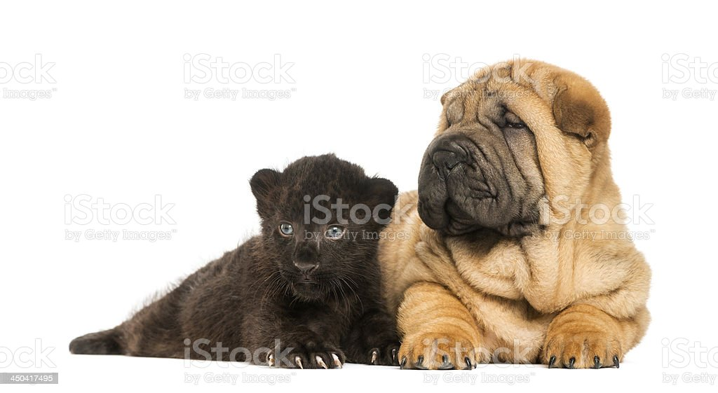 Shar pei puppy and Black Leopard cub lying down together royalty-free stock photo