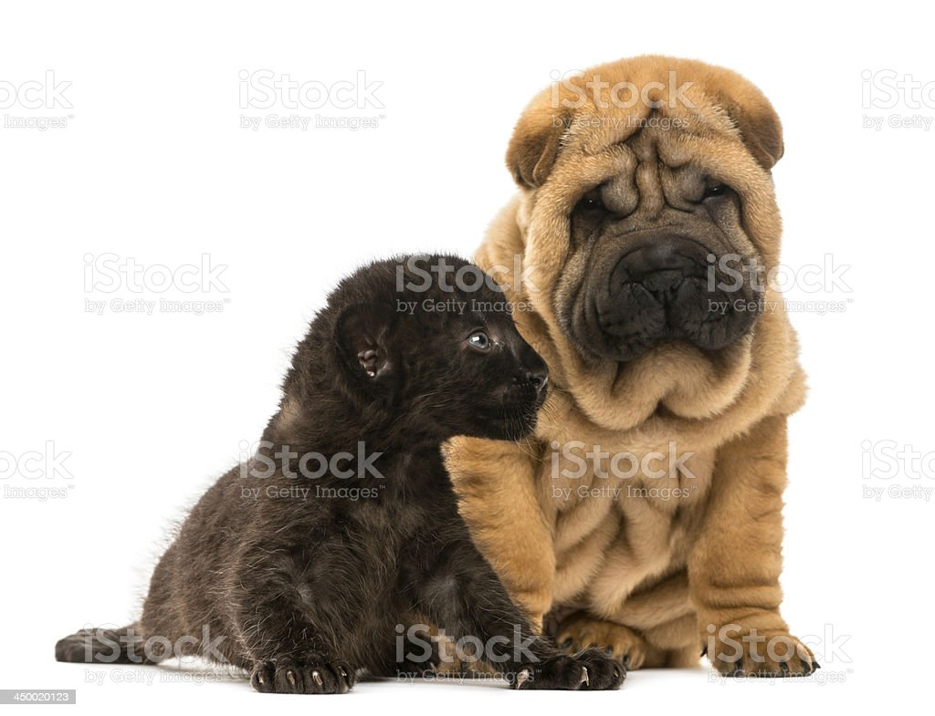 Shar pei puppy and Black Leopard cub sitting royalty-free stock photo