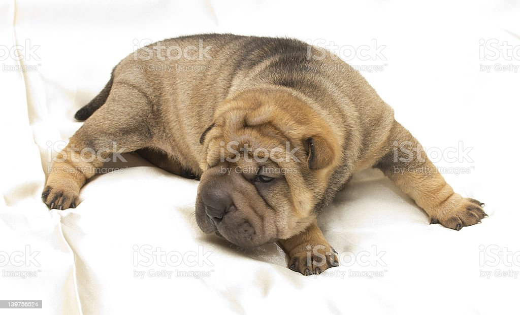 Shar pei puppy royalty-free stock photo