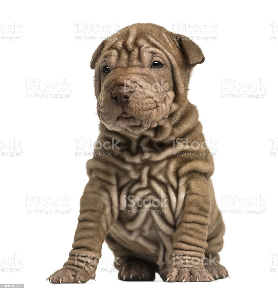 Shar Pei puppy sititng, isolated on white stock photo