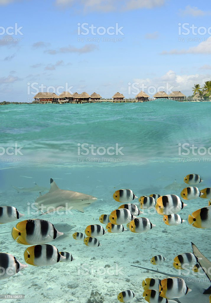 Shark and butterfly fish in a over-under at Bora Bora stock photo