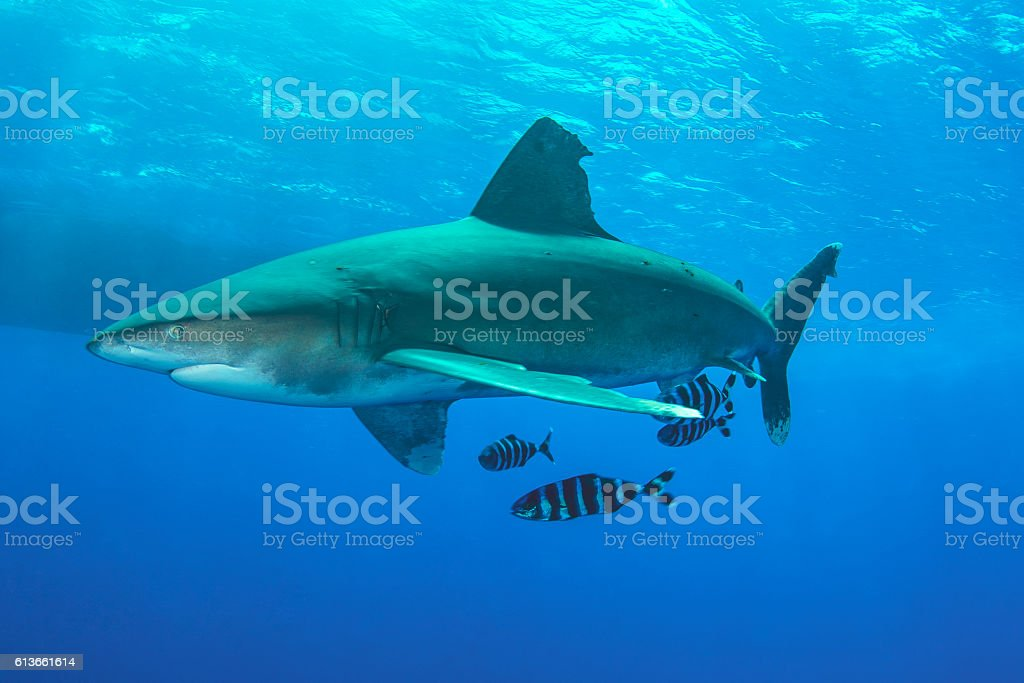Shark and Pilot Fishes stock photo