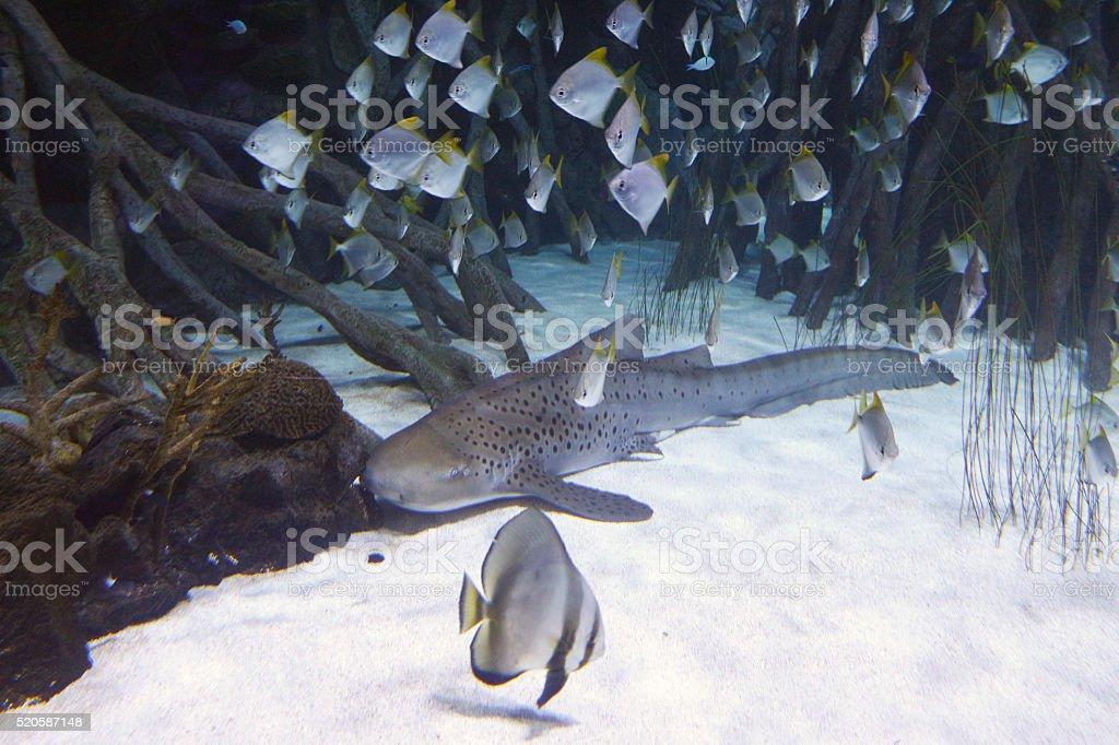 Shark and schools of fishes around, vegetation. stock photo