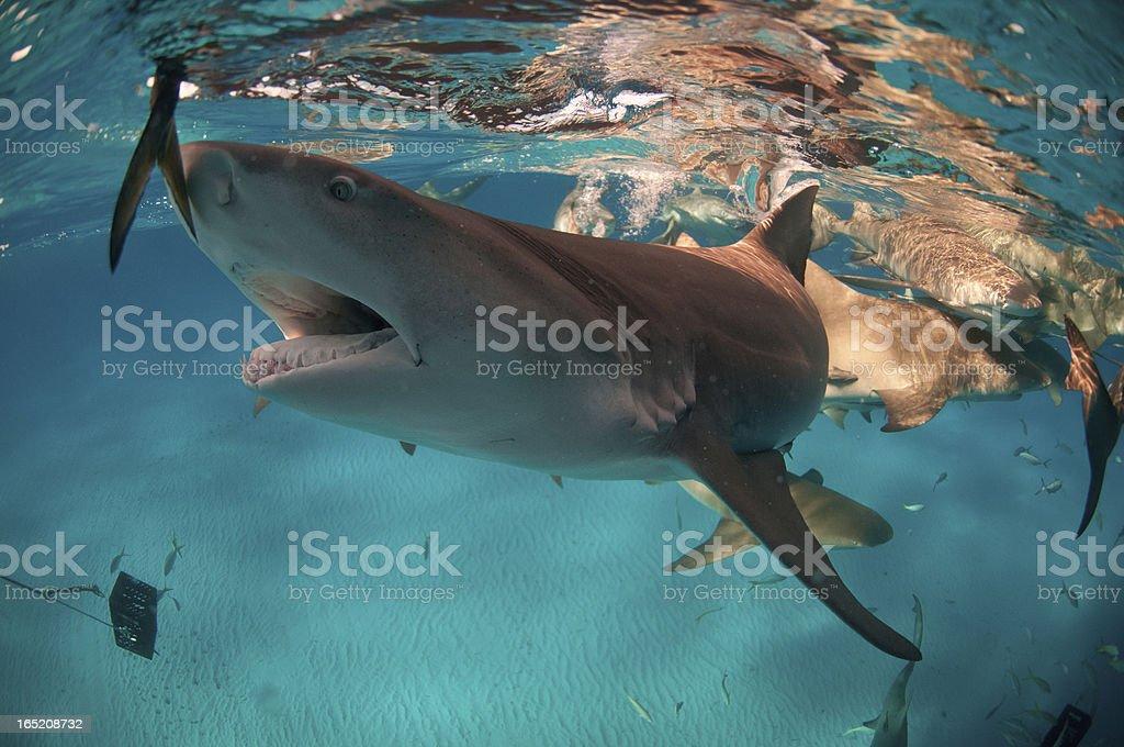 Shark bait stock photo