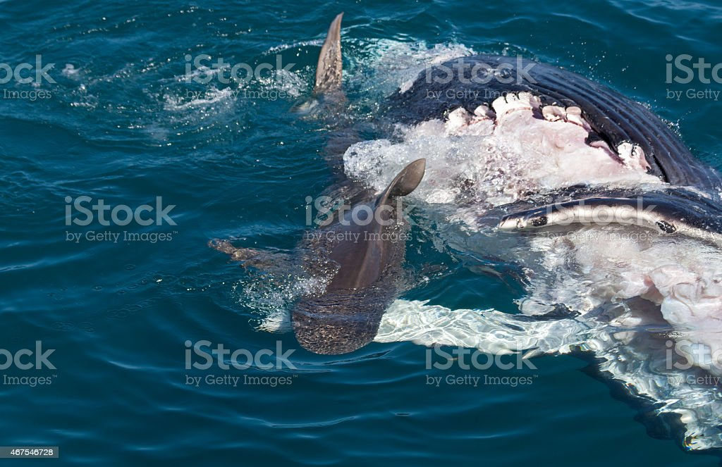shark eating whale stock photo