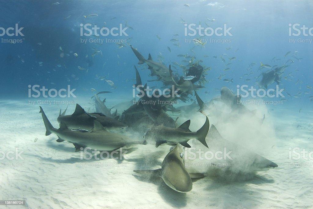 Shark Frenzy royalty-free stock photo