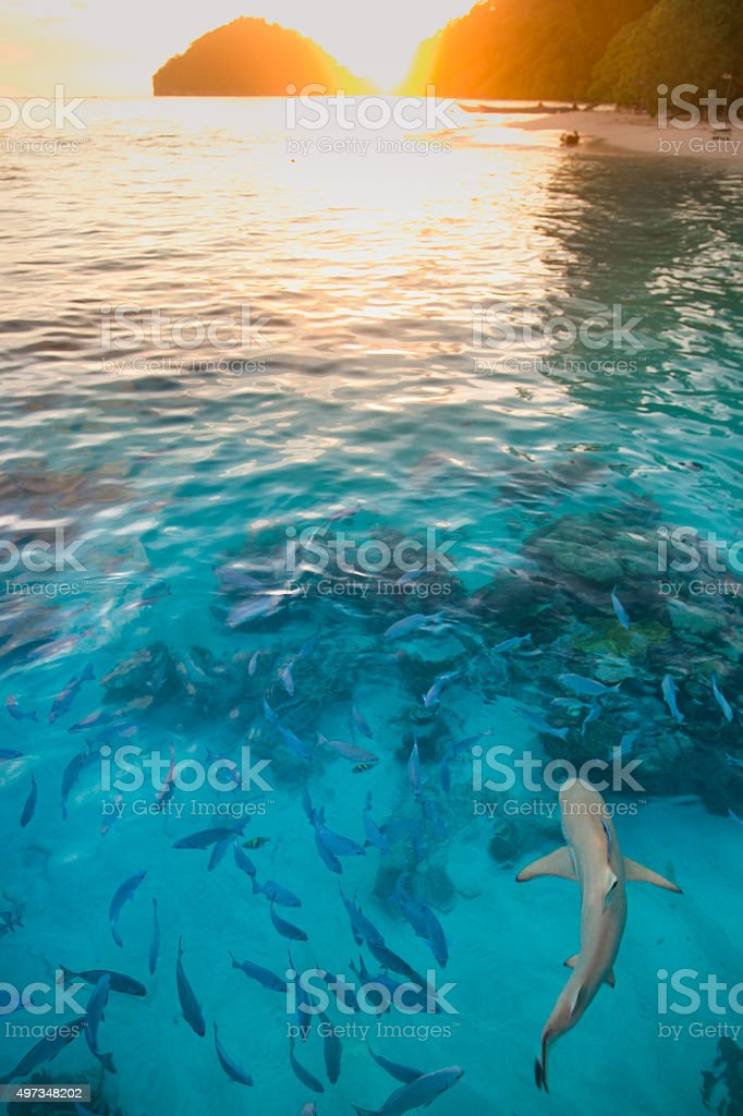 Shark in pure water at sunset stock photo