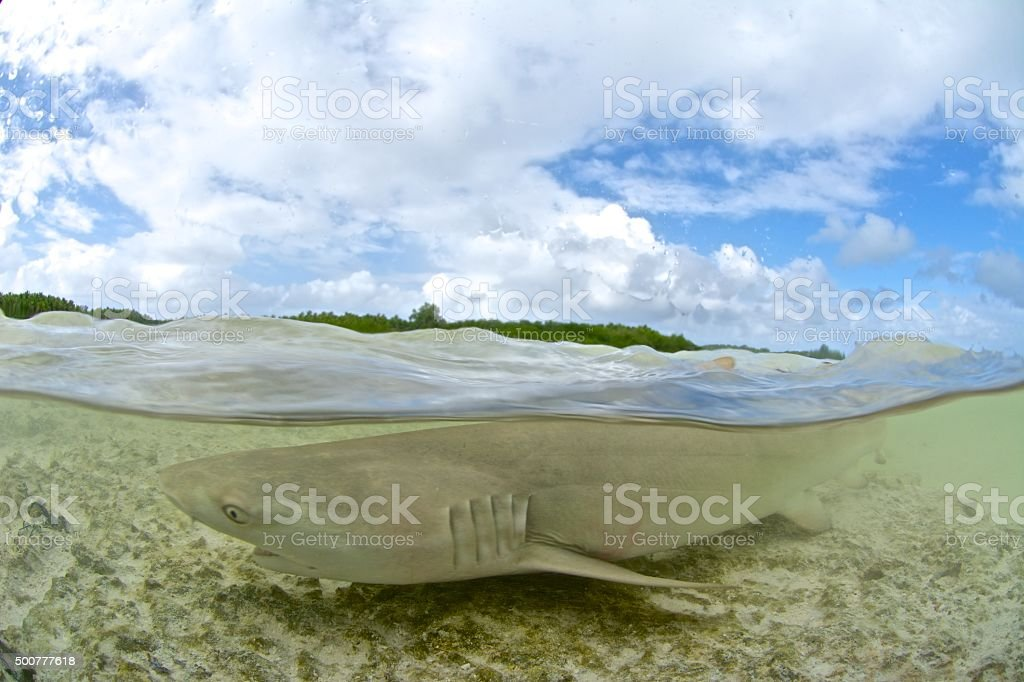 shark in shallow water stock photo