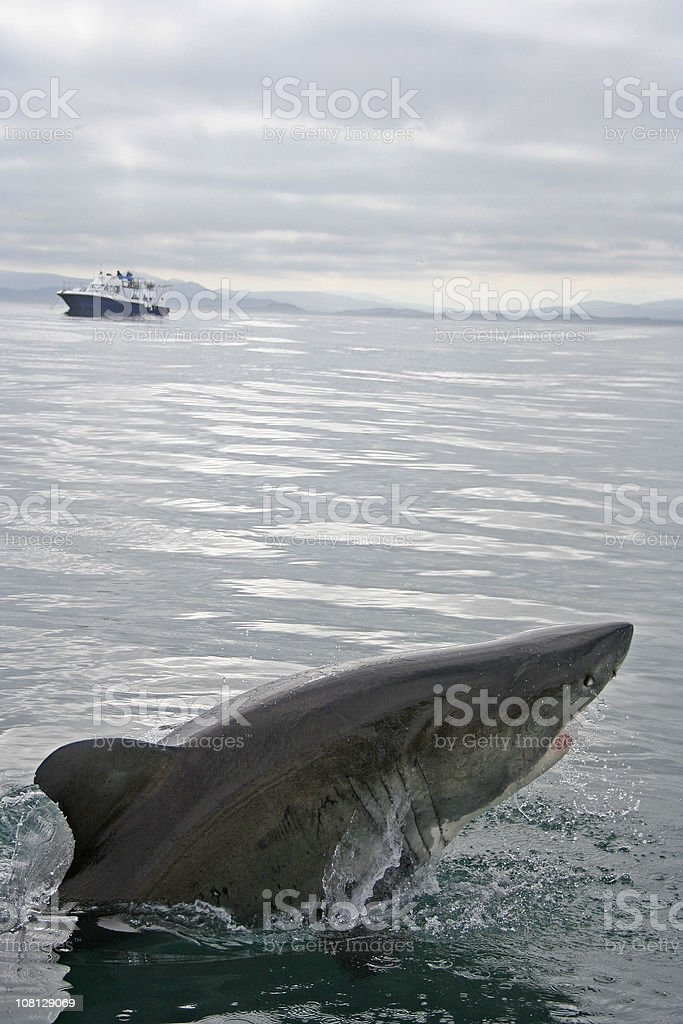 Shark Jumping Out of Water with Ship in Background royalty-free stock photo