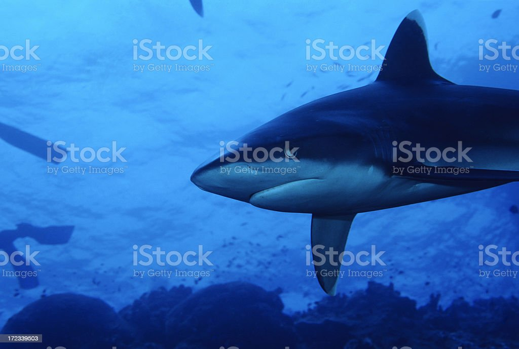 Shark Lurking In The Blue royalty-free stock photo