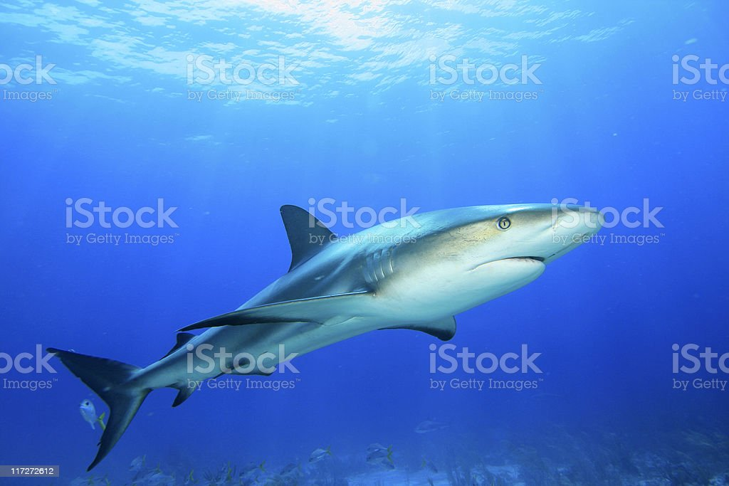 Shark on blue water background stock photo