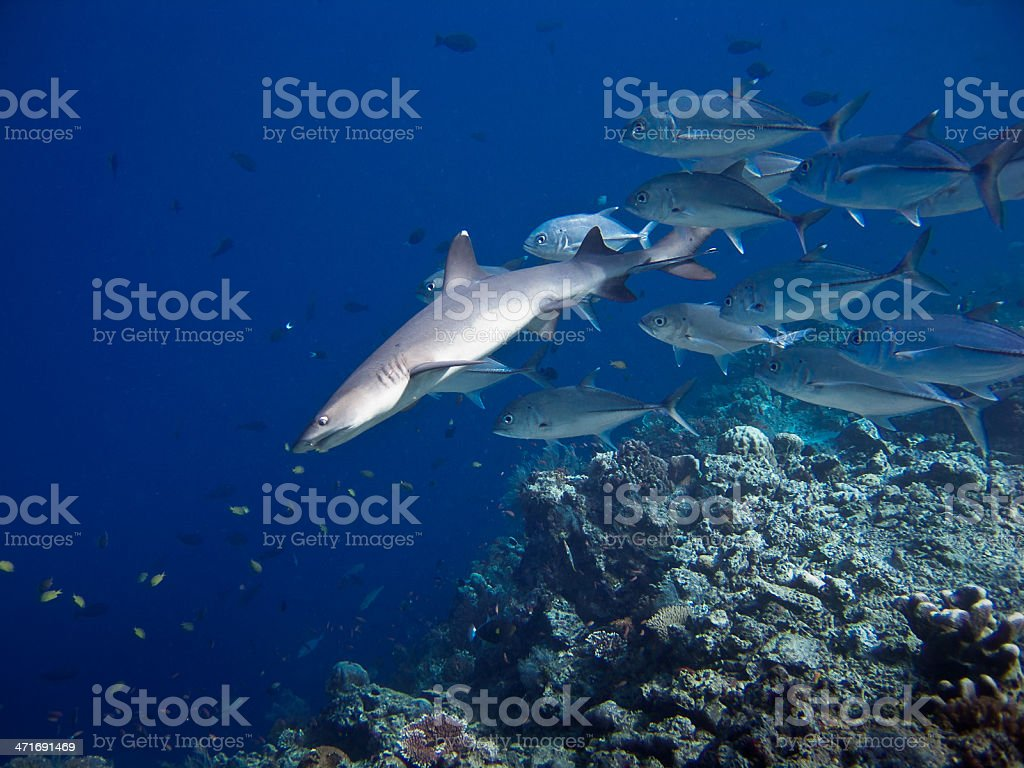 Shark on the hunt royalty-free stock photo