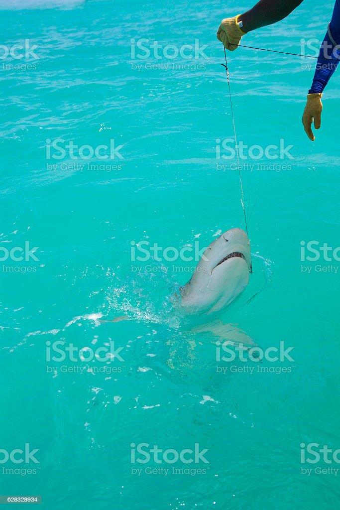 shark on the line stock photo