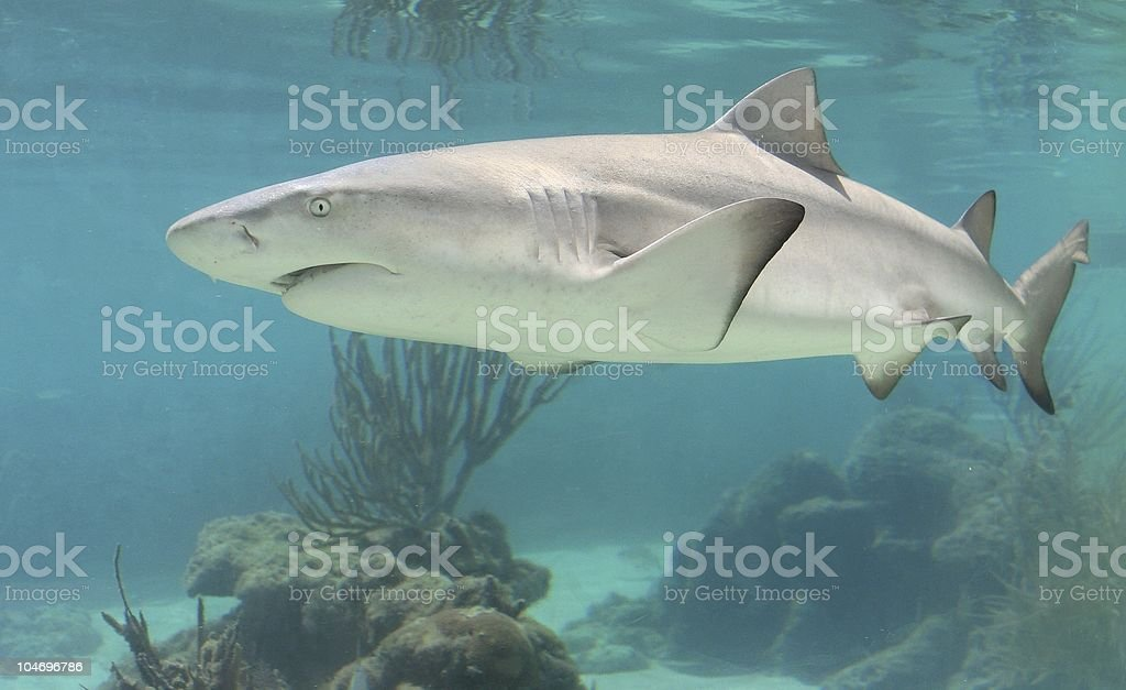 Shark  royalty-free stock photo