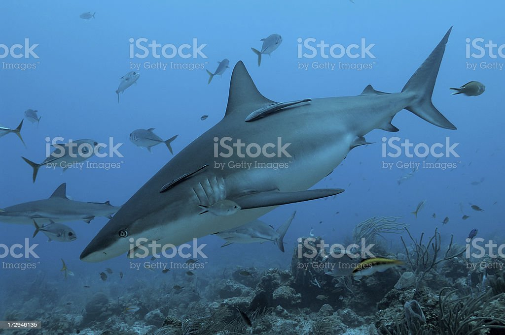 shark royalty-free stock photo