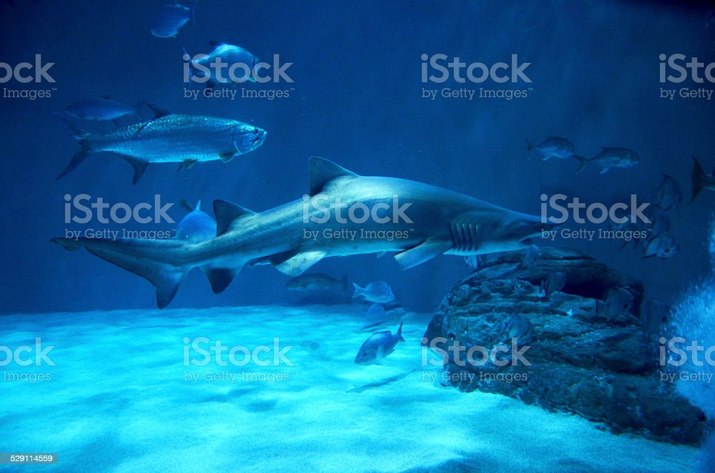 shark stock photo