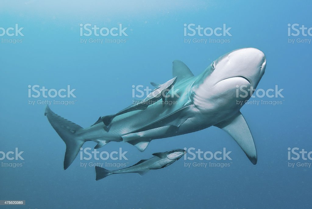Shark & Remoras stock photo