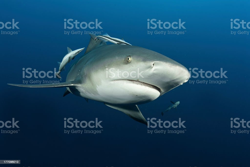 A shark swimming close to underwater camera in blue water stock photo