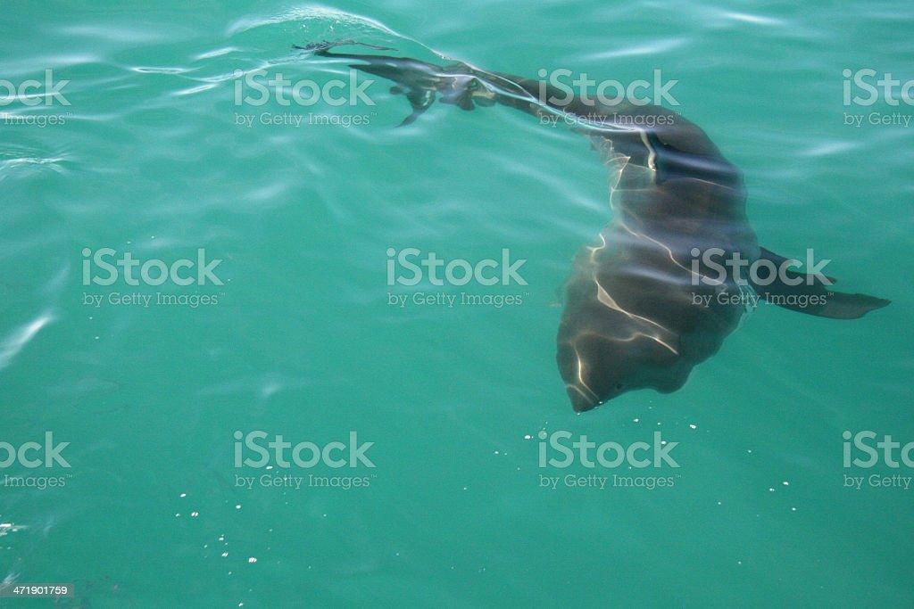 Shark Swimming royalty-free stock photo