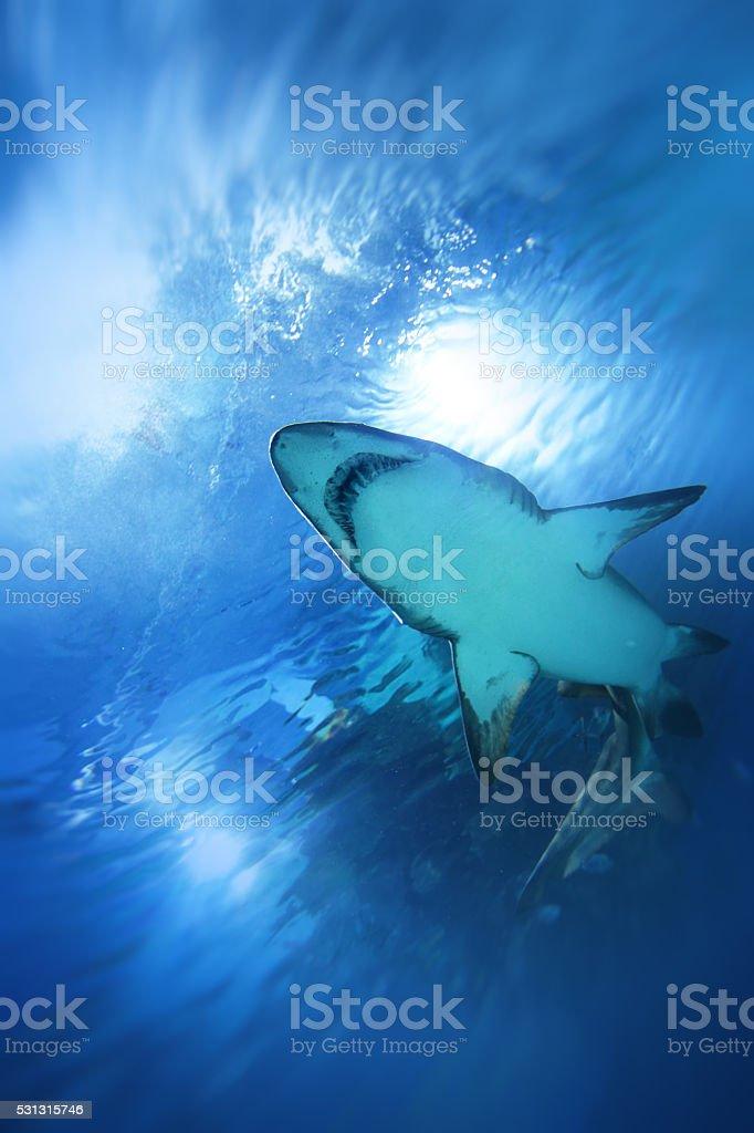 Shark swimming upwards underwater stock photo