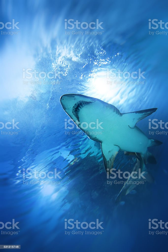 Shark swimming upwards underwater stock photo