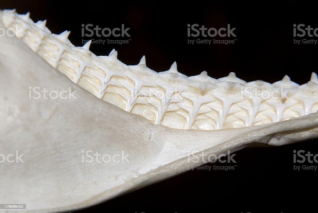 Shark teeth rows stock photo