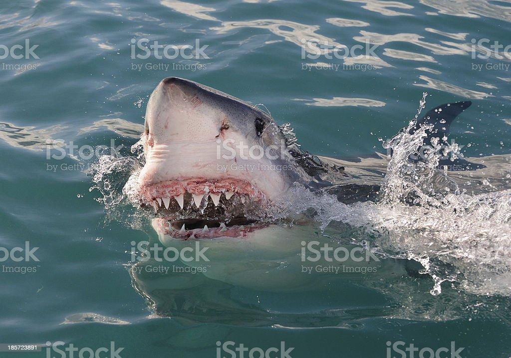 Sharks Grin stock photo