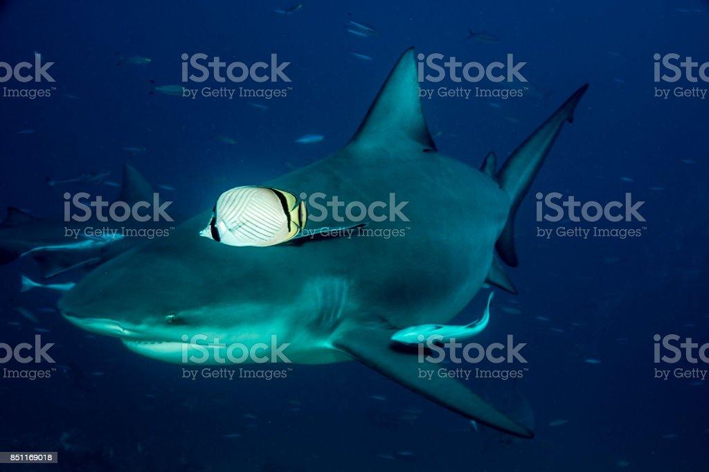 Sharks of Fiji stock photo