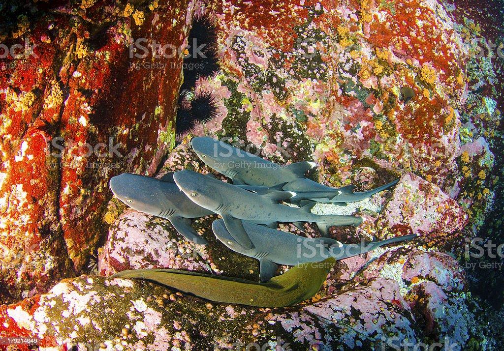 Sharks royalty-free stock photo