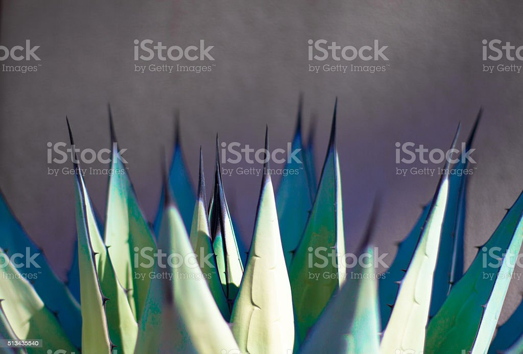 Sharp Leaves of Agave (American Aloe) Plant, Morning Light stock photo
