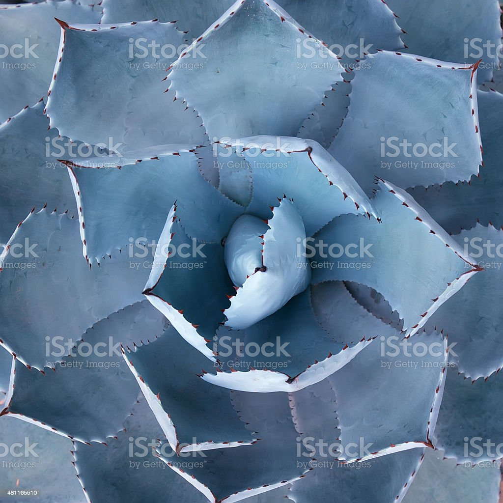 Sharp pointed agave plant leaves stock photo