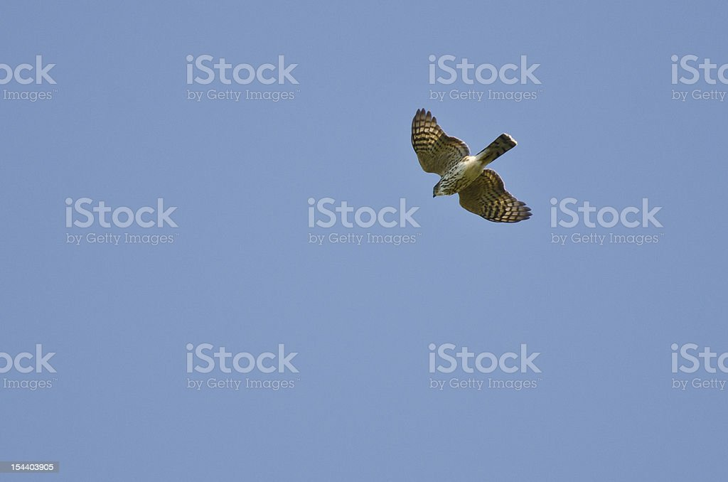 Sharp Shinned Hawk Flying in a Blue Sky royalty-free stock photo