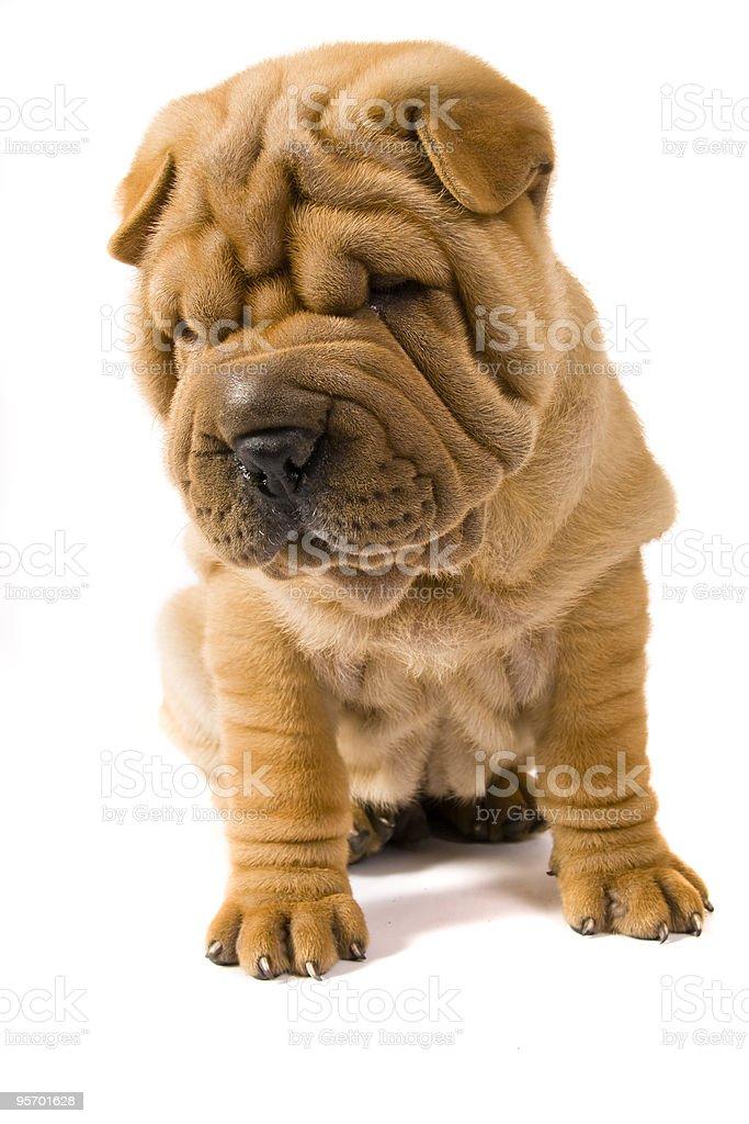 Морщинистые собачки фото