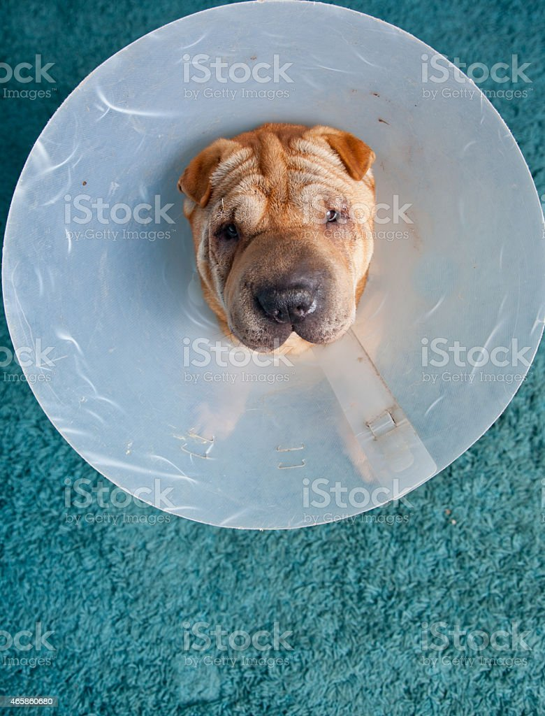 sharpei dog wearing a protective veterinary collar stock photo