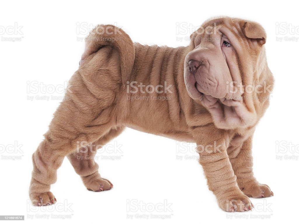 Sharpei puppy is standing royalty-free stock photo