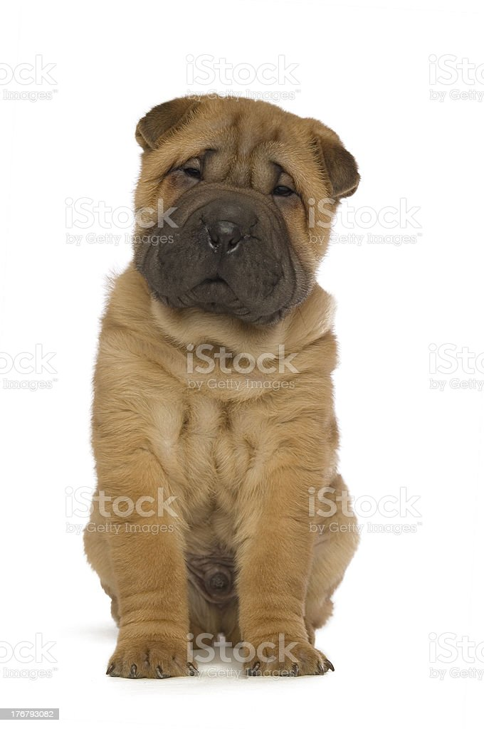 Shar-Pei Puppy Isolated on White Background royalty-free stock photo