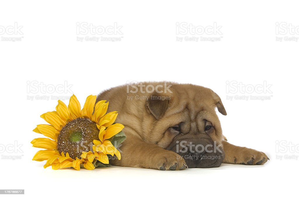 Shar-Pei Puppy isolated with flower on White Background royalty-free stock photo