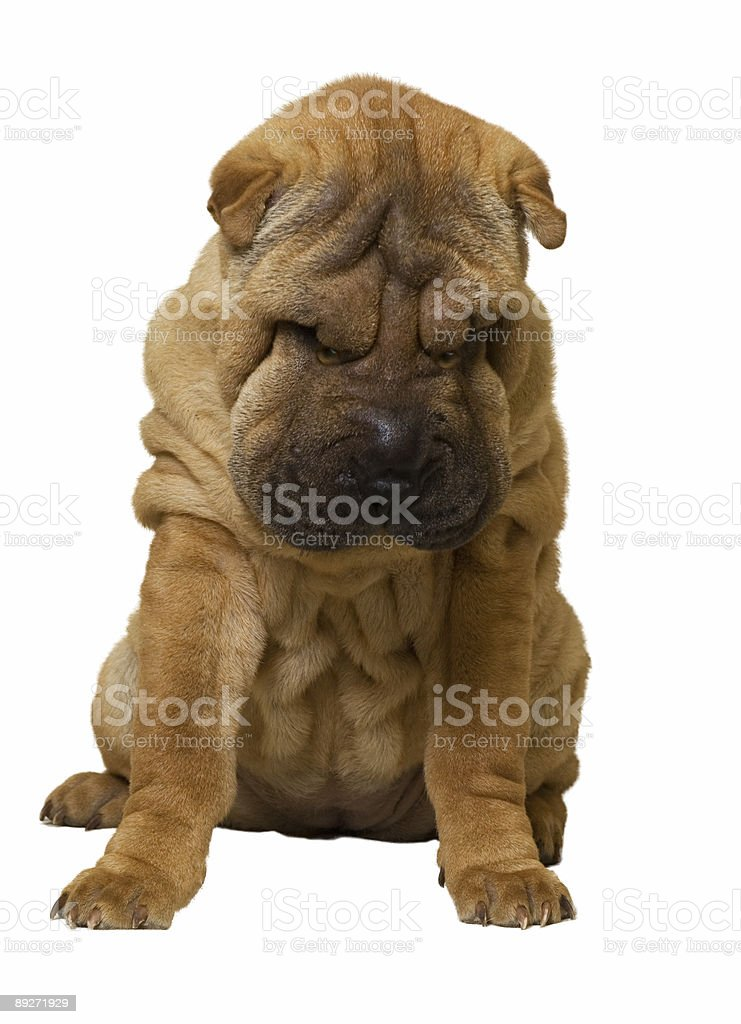Sharpei puppy royalty-free stock photo