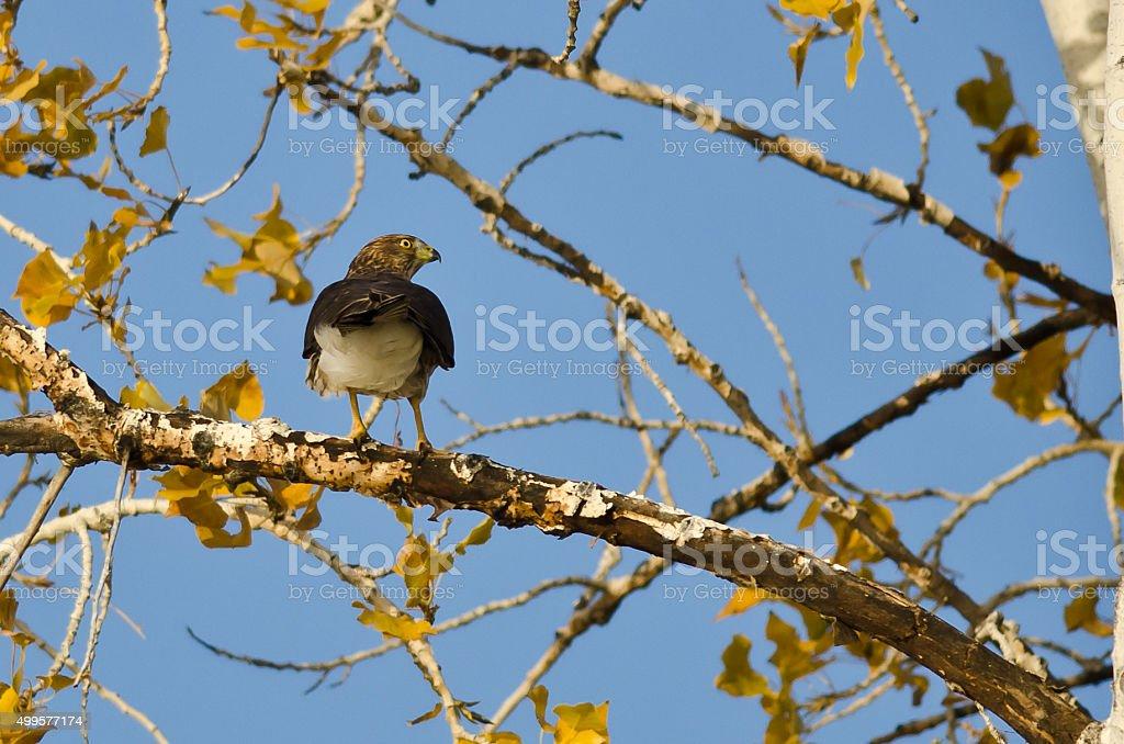 Sharp-Shinned Hawk Hunting from the Autumn Tree stock photo