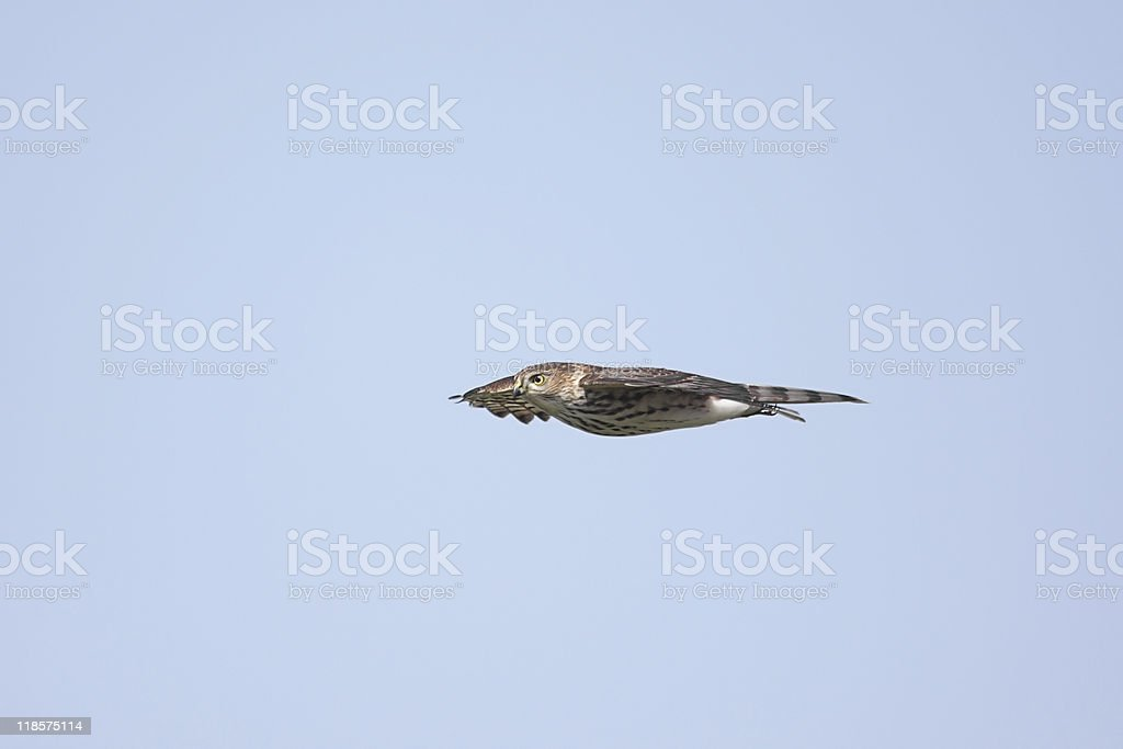 Sharp-shinned Hawk (Accipiter striatus) In Flight stock photo
