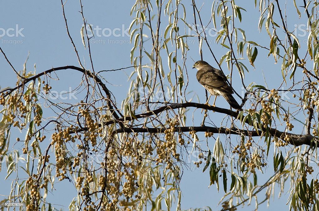 Sharp-Shinned Hawk Perched in an Autumn Tree stock photo