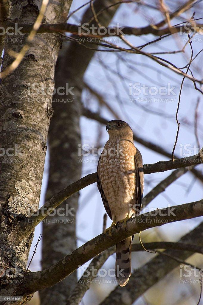 Sharp-shinned Hawk (Accipiter striatus) stock photo