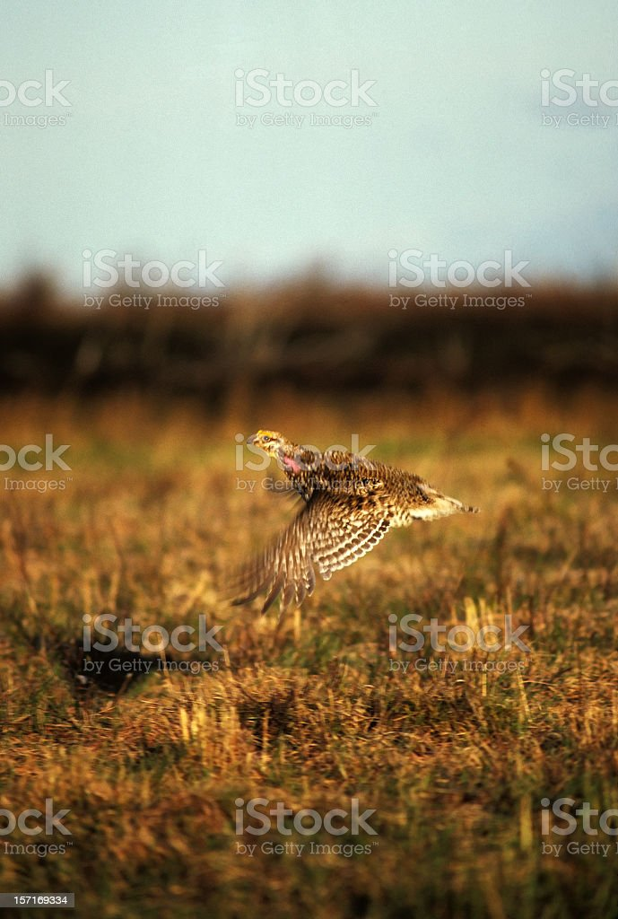 sharp-tailed grouse in flight stock photo