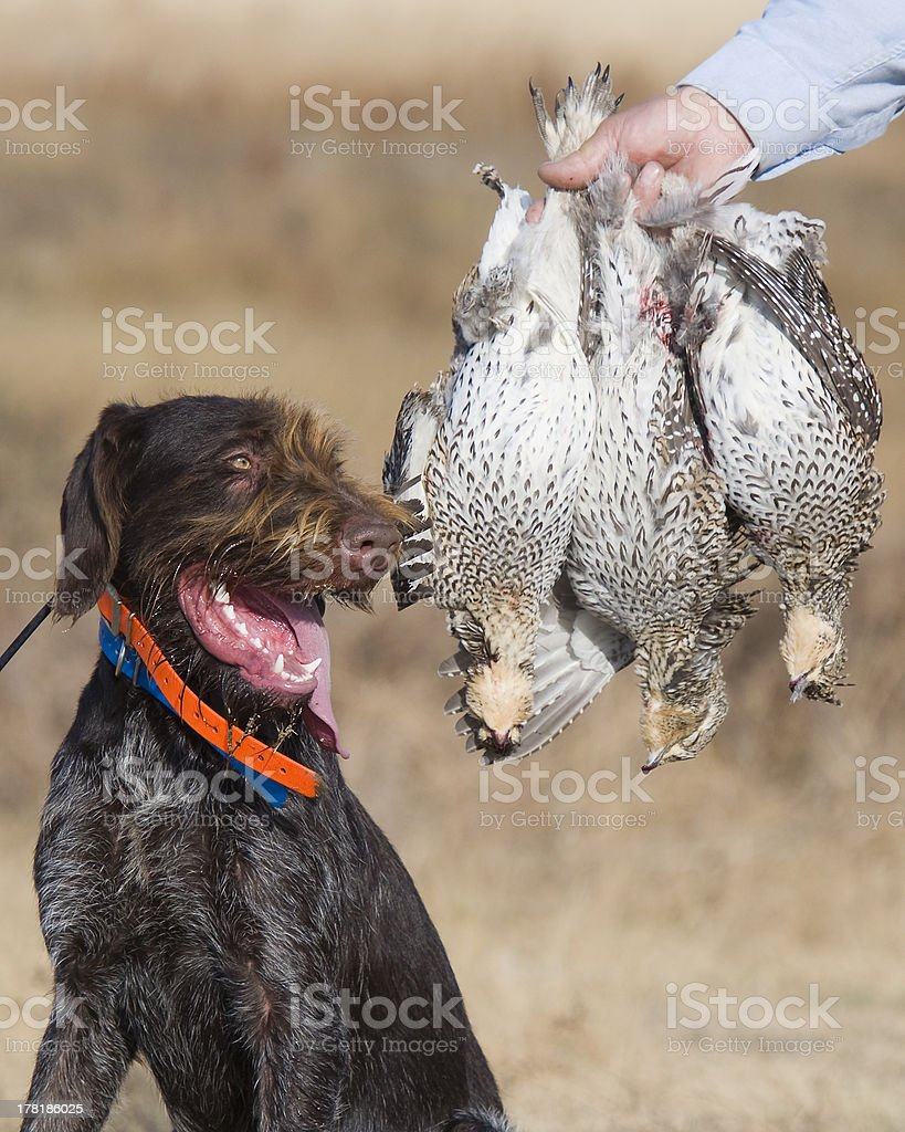 Sharp-tailed Grouse stock photo