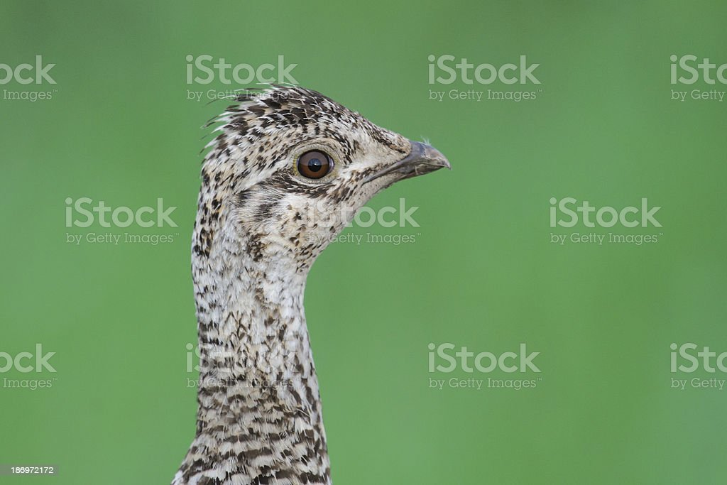Sharp-tailed Grouse (Tympanuchus phasianellus) stock photo