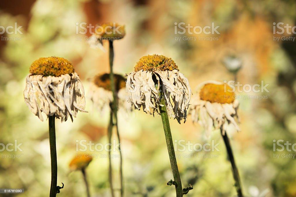 Shasta Daisy Chrysanthemum maximum Flowers stock photo