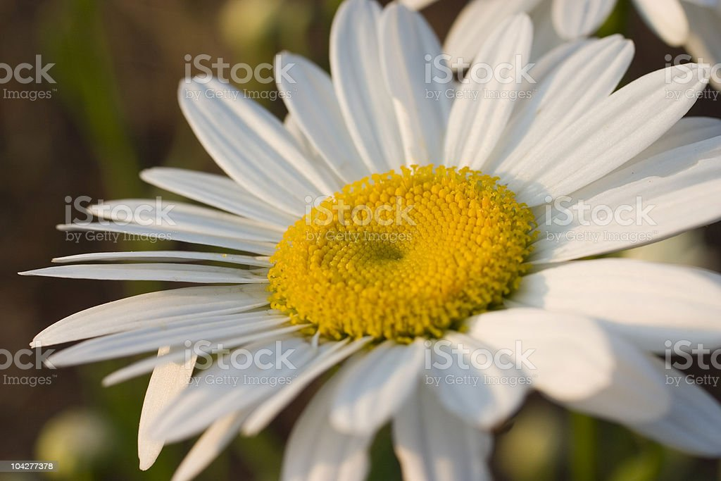 Shasta Daisy royalty-free stock photo